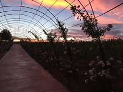 Rose Arbor at Sunset